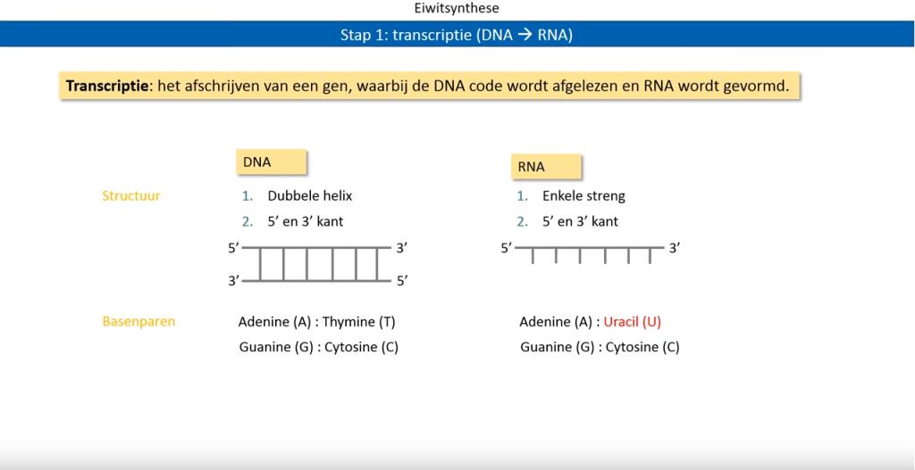 biologie eiwitsynthese